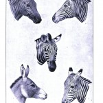 Animal - Animal head - Zebras