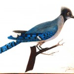 Animal - Bird - Bluejay