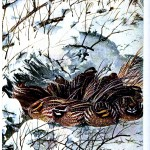 Animal - Bird - Bobwhite - Bobwhites in snow