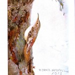 Animal - Bird - Brown creeper