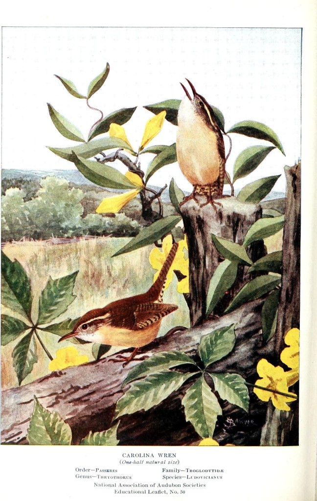 Animal - Bird - Carolina Wren