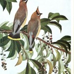 Animal - Bird - Cedar waxwing