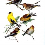 Animal - Bird - Finches - Educational plate