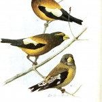 Animal - Bird - Grosbeak 2