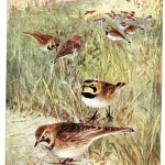 Animal - Bird - Lark