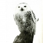 Animal - Bird - Owl - Large snowy owl photo