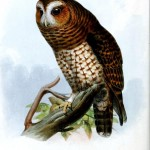 Animal - Bird - Owl 1