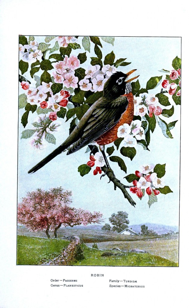Animal - Bird - Robin in cherry blossom tree