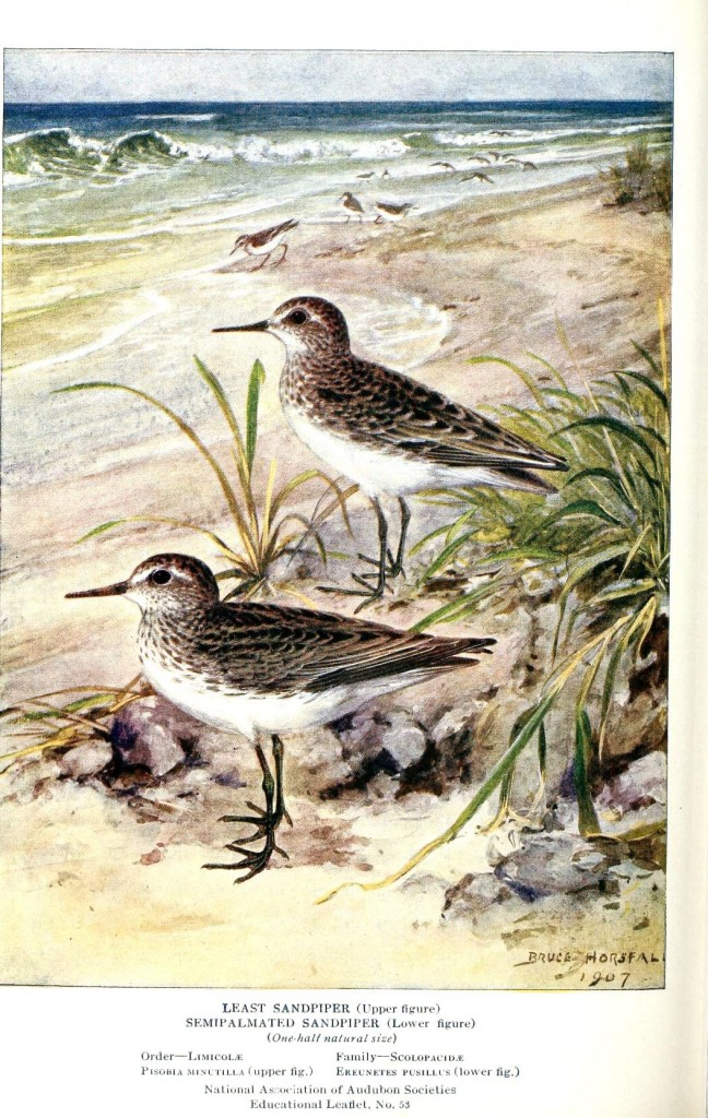 Animal - Bird - Sandpipers