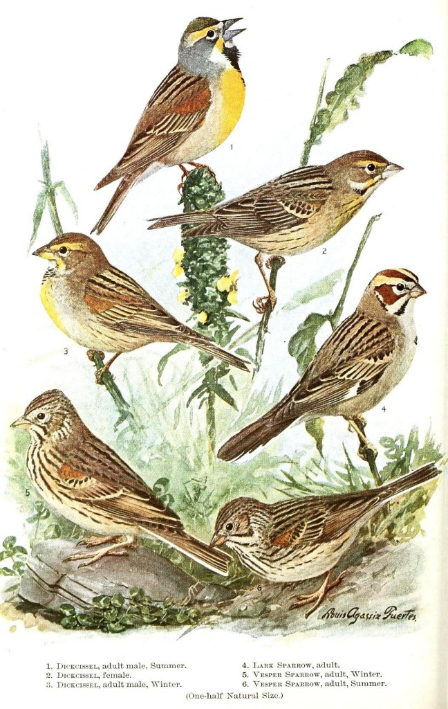 Animal - Bird - Sparrow - Educational plate 3