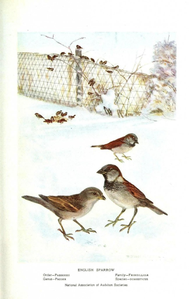 Animal - Bird - Sparrow - English sparrow in snow