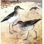 Animal - Bird - Spotted sandpiper