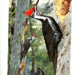 Animal - Bird - Woodpeckers - Redheaded woodpecker 2