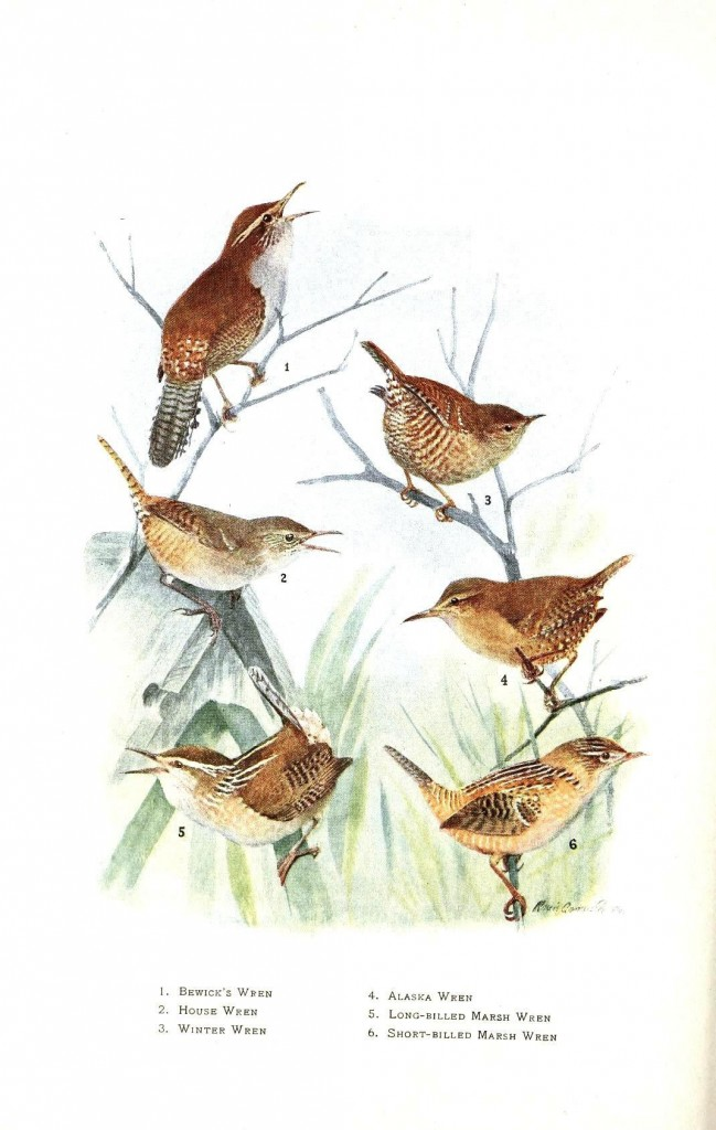 Animal - Bird - Wren - Educational plate