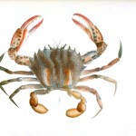 Animal - Crustacean - Crab 2