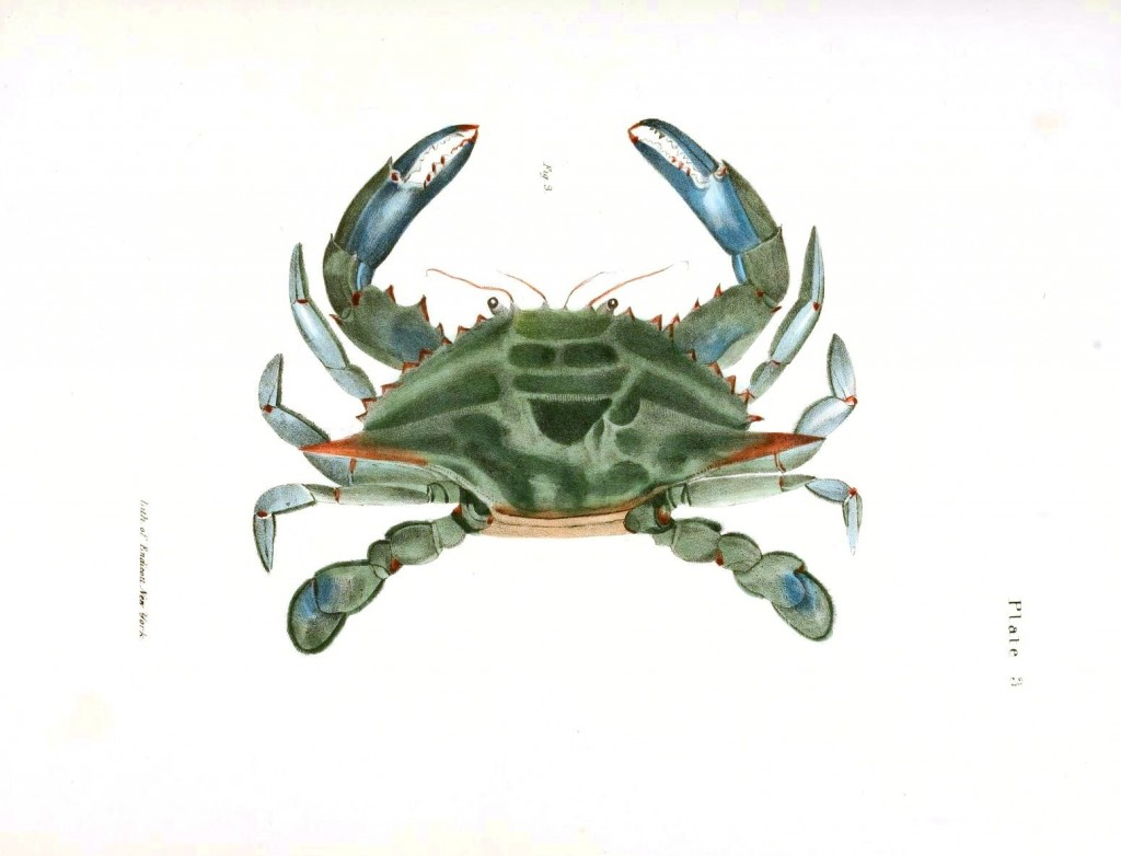 Animal - Crustacean - Crab Blue crab