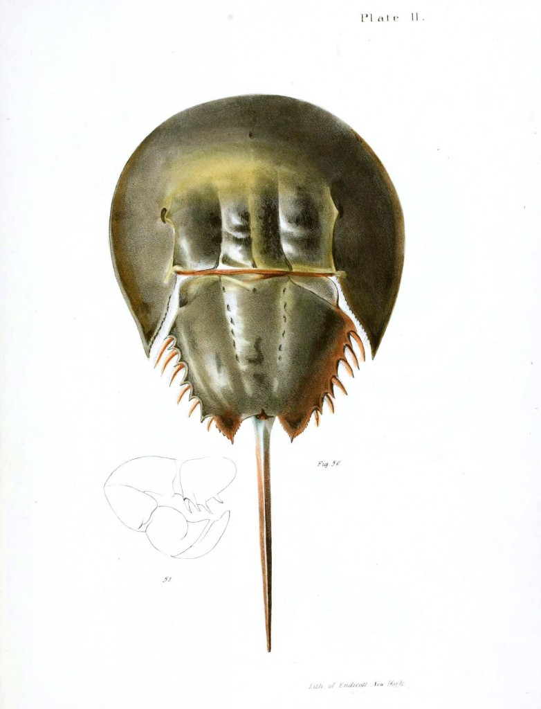 Animal - Crustacean - Horseshoe crab