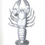 Animal - Crustacean - Lobster - Crayfish - (1)