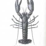 Animal - Crustacean - Lobster - Crayfish - (2)