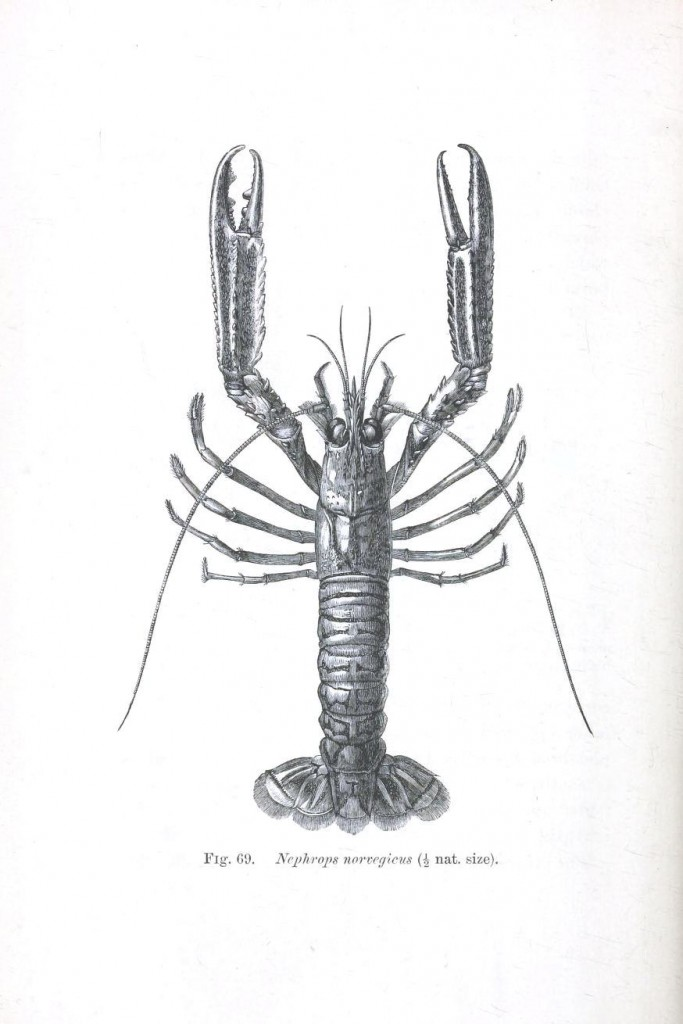 Animal - Crustacean - Lobster - Crayfish - (3)