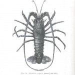 Animal - Crustacean - Lobster - Crayfish - (4)