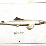 Animal - Fish - 1700s pen and ink 3