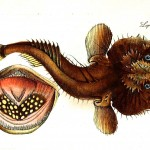 Animal - Fish - Devil fish 4