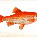 Animal - Fish - Orange fish 2