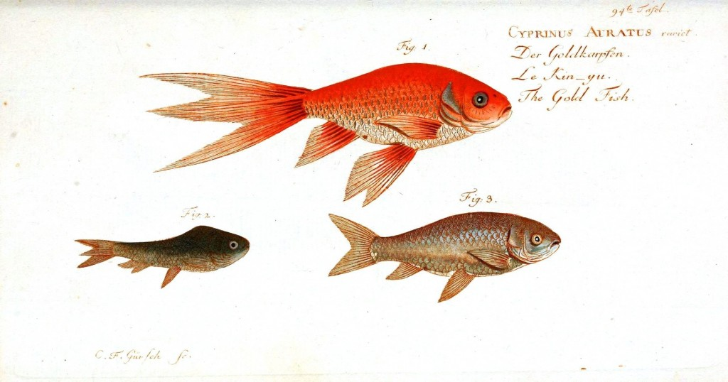 Animal - Fish - Orange fish 3