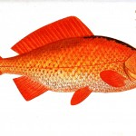 Animal - Fish - Orange fish