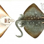 Animal - Fish - Ray 1