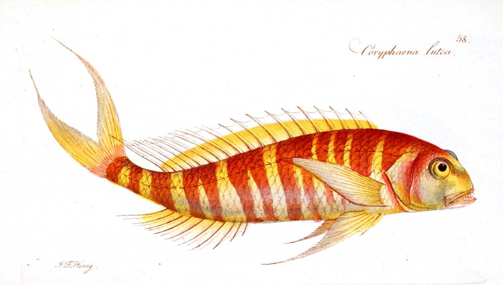 Animal - Fish - Striped fish orange