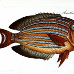 Animal - Fish - Striped fish