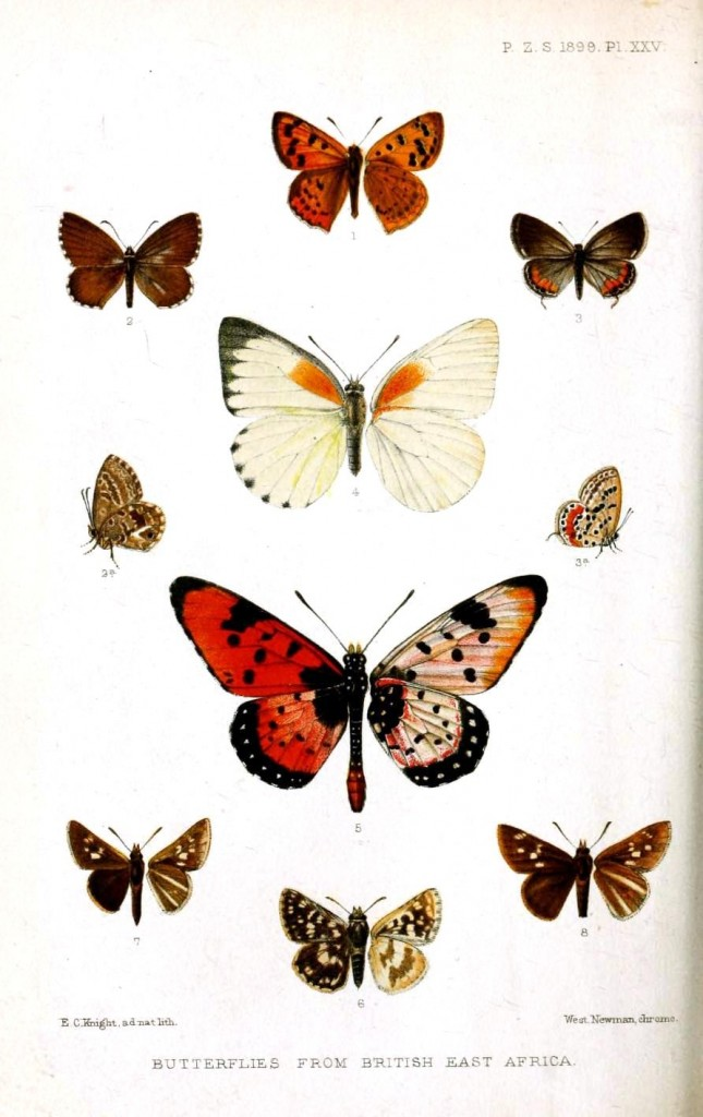 Animal - Insect - Butterflies - Red and black