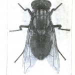 Animal - Insect - Housefly - Photo