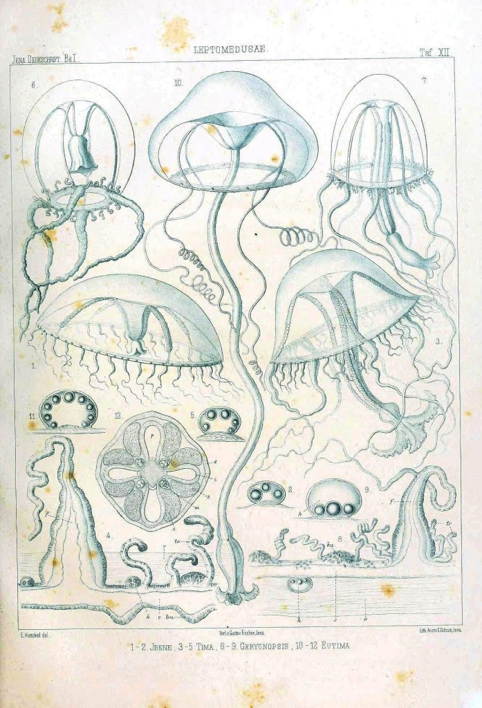 Animal - Jellyfish -  (9)