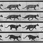Animal - Locomotion - Cat walking fast