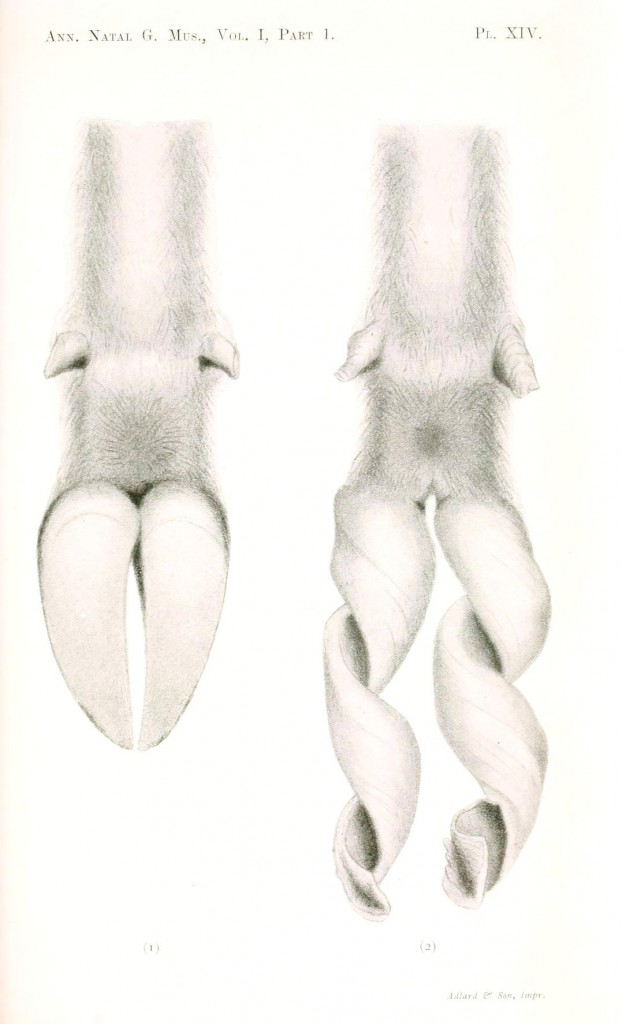 Animal - Range and Farm - Abnormal hooves of a sheep