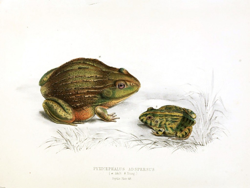Animal - Reptile - Frog (Toad)