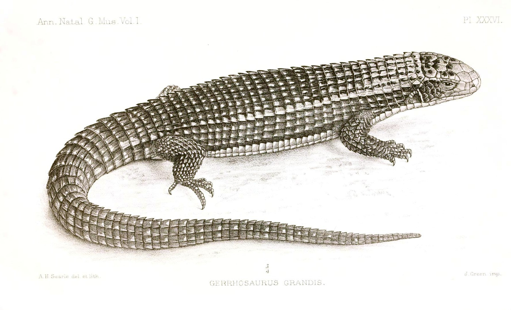 Animal - Reptile - Lizard - African 2