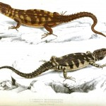 Animal - Reptile - Lizard - African 4
