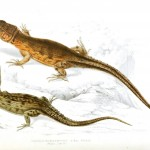 Animal - Reptile - Lizard - African 6