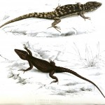 Animal - Reptile - Lizard - African 9