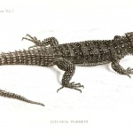 Animal - Reptile - Lizard - African
