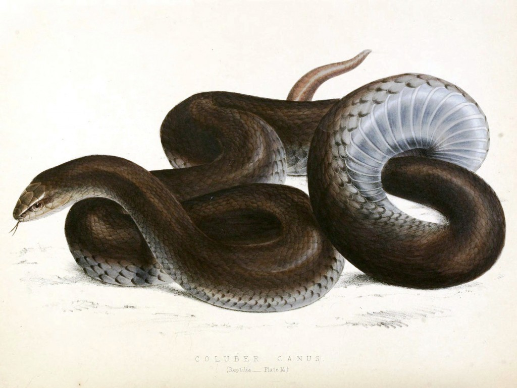 Animal - Reptile - Snake - Black - African