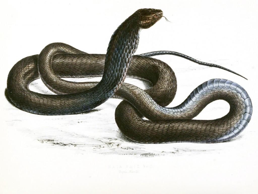 Animal - Reptile - Snake - Black Cobra - African