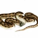 Animal - Reptile - Snake - Brown spotted  African