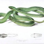 Animal - Reptile - Snake - Green - African