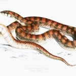 Animal - Reptile - Snake - Orange striped - African