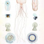 Animal - Sea Shell - Mollusks and zoophytes 3